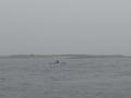 P5280466-marsouin-et-dauphins-devant-Litiri