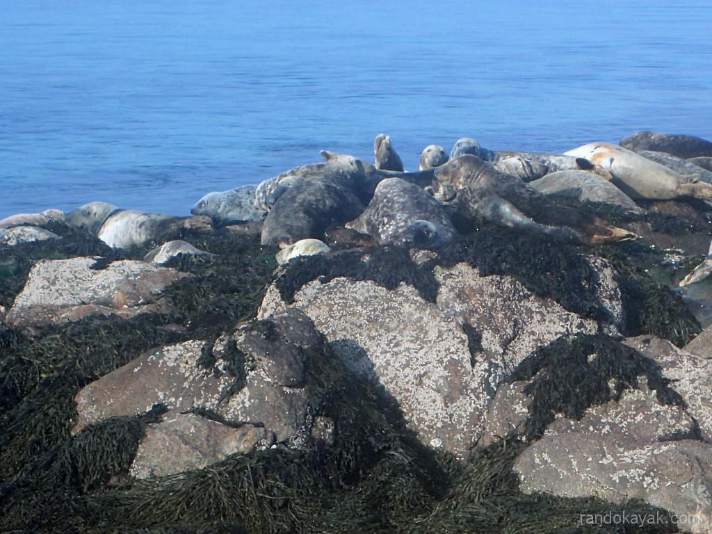 kayaks de mer, les phoques de l'île de Morgol