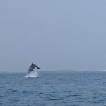 Grands dauphins dans l'archipel de Molène.
