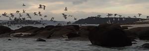 Vol d'Huîtriers pies sur l'île Fougère (Trébeurden).