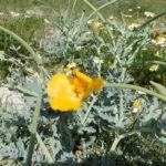 Pavot cornu, ou Pavot jaune des sables, à Beniguet
