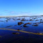 Les laminaires de Béniguet, à marée basse.