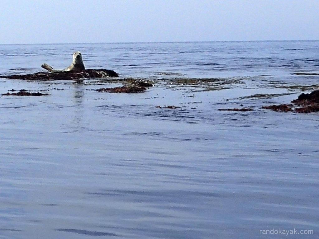 Un phoque de l'archipel de Molène.