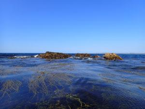 Himanthalia elongata (spaghetti de mer) au plateau des Belveignou.