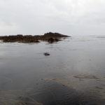 Jeune phoque aux Belveignou